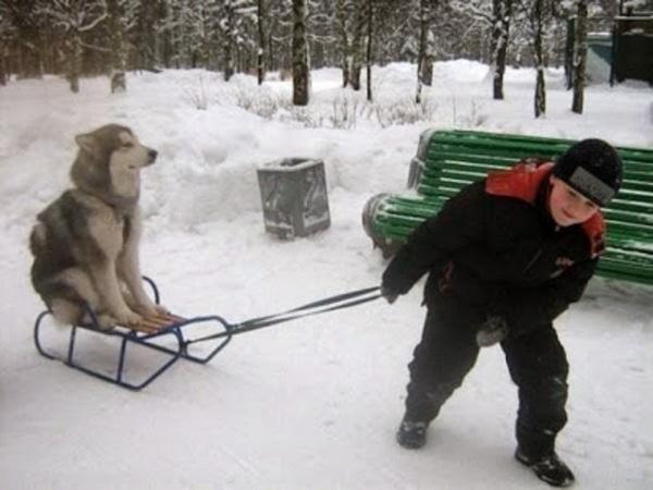 Un chien qui traine un enfant sur une luge.